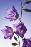 purple för blåklockablommaäng Arkivbilder