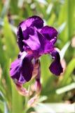 purple för blomblommairis Arkivfoton