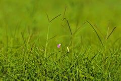 purple för blommagräsgreen Arkivfoto