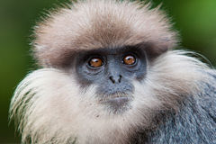 Purple-faced langur - monkey Royalty Free Stock Photography