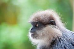 Purple-faced langur - monkey Royalty Free Stock Photos
