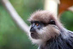 Purple-faced langur - monkey Stock Photos