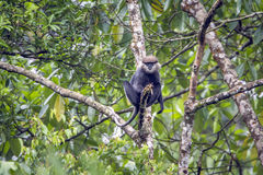 Purple-faced langur in Sinharaja forest reserve, Sri Lanka Stock Photography