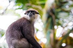 A Critically Endangered Purple Faced Langur Trachypithecus vetulus Endemic to Sri Lanka stock photos