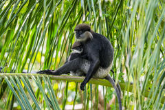 Purple-faced langurs, moter and baby, sitting on a palm tree royalty free stock photography
