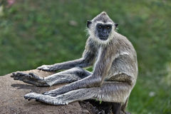 Purple faced leaf monkey. Sitting on a rock Stock Photography