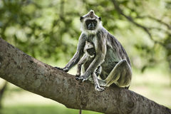Purple faced leaf monkey with a baby. Sitting on a tree bench Stock Photos