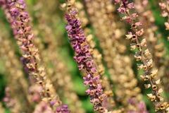 Purple faded flowers of Salvia nemorosa Royalty Free Stock Photo