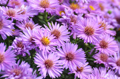 Purple Fall Asters Royalty Free Stock Photography