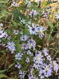 Purple Fall Asters. Late season blooming tiny purple and lavender colored fall asters pop up in nature& x27;s landscape. These gorgeous wildflowers are Royalty Free Stock Images