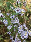 Purple Fall Asters. Late season blooming tiny purple and lavender colored fall asters pop up in nature& x27;s landscape. These gorgeous wildflowers are Stock Image