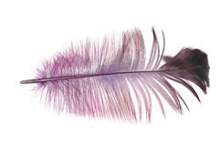Purple feather on a white background stock image