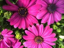 Purple feverfew  Stock Image