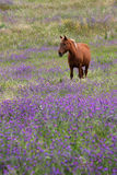 Purple Field Stock Images