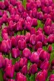 Purple field Royalty Free Stock Photo