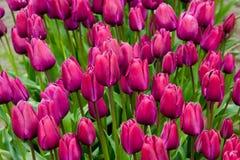 Purple field. Tulip festival in Skagit Valley, Washington state Stock Image