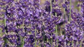 Purple field flowers background. stock video footage