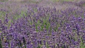Purple field flowers background. stock footage
