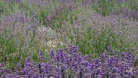 Purple field flowers background. stock video