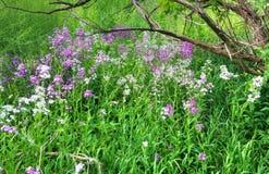 Purple field flowers Stock Photography