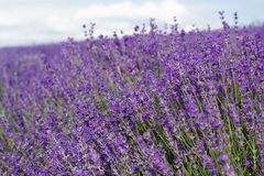 Purple field of lavender flowers Royalty Free Stock Images