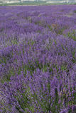 Purple field of lavender flowers Royalty Free Stock Photos