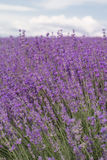 Purple field of lavender flowers Stock Photos