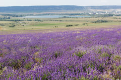 Purple field of lavender flowers Royalty Free Stock Photo