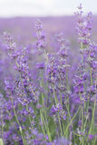 Purple field of lavender flowers Stock Photography