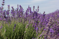 Purple field of lavender flowers Stock Photo