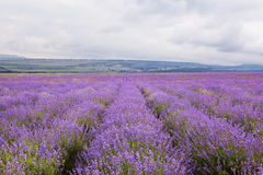 Purple field of lavender flowers Royalty Free Stock Image
