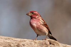 Purple Finch Stock Images