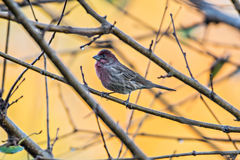 Purple finch bird sitting on tree branch with yellow background Royalty Free Stock Images