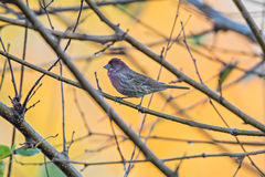 Purple finch bird sitting on tree branch with yellow background Stock Photos