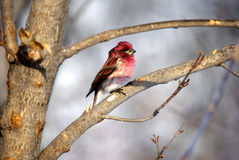 A Purple Finch on a Branch. There are two subspecies of the purple finch, H. p. purpureus and H. p. californicus. H. p. californicus was identified by Spencer F Stock Photo