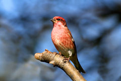 Purple Finch (Carpodacus purpureus) Royalty Free Stock Photo