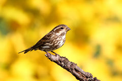 Purple Finch (Carpodacus purpureus) Royalty Free Stock Image