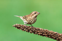 Purple Finch (Carpodacus purpureus) Stock Photo