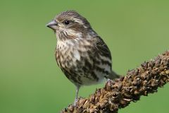 Purple Finch (Carpodacus purpureus) Stock Photos