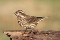 Purple Finch (Carpodacus purpureus) Royalty Free Stock Photography