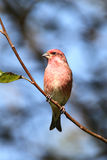Purple Finch (Carpodacus purpureus) Royalty Free Stock Images