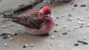 Purple Finch Eating Seeds. This is a photograph of a Purple Finch on concrete, eating seeds Royalty Free Stock Images