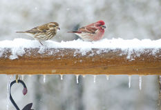Purple Finch feeding in the snow. Royalty Free Stock Image