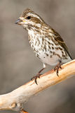 Purple Finch Royalty Free Stock Images
