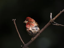 Purple Finch (Haemorhous purpureus) Stock Photo