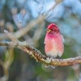 Purple Finch (Haemorhous purpureus) sitting on branch Stock Photography