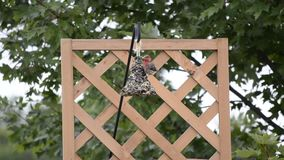 Purple Finch on a hanging feeder Stock Photos