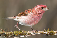 Purple Finch Royalty Free Stock Photos