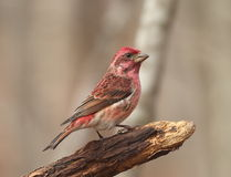 Purple Finch Stock Photo