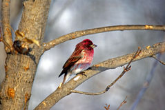 A Purple Finch. For many of us, they're irregular winter visitors to our feeders, although these chunky, big-beaked finches do breed in northern North America Royalty Free Stock Photography